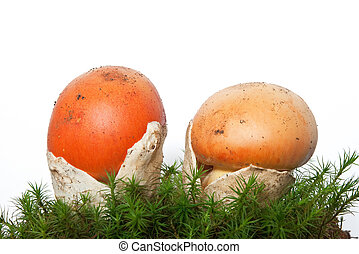 Amanita Caesarea mushrooms with moss - two young Amanita...