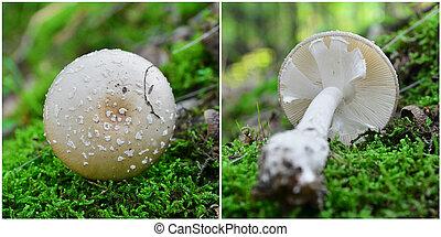 amanita, excelsa, 버섯