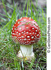 Amanita muscaria - Detail of the fly poison amanita -...