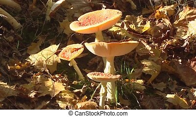 Amanita muscaria, fly agaric group in sun / shade at forest edge - side view
