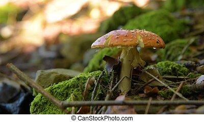 Amanita muscaria mushroom in moos . Fly agaric mushroom in...