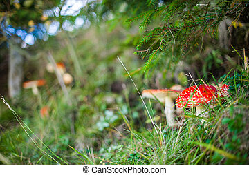 Amanita Muscaria mushrooms. Red poisonous Fly Agaric mushroom in forest