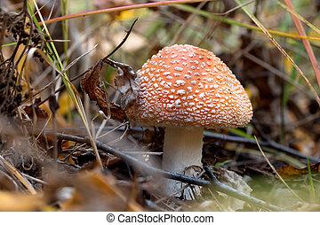 amanita mushroom in the grass in the autumn