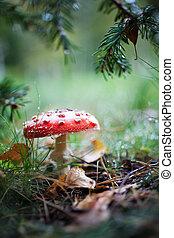 Poisonous amanita growing in wet autumn weather