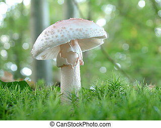 Amanita verna mushroom - White mushroom in the forest - ...