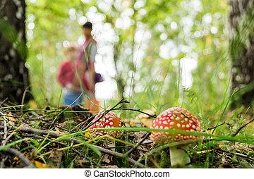 amanitas, 成長する, 森林, pickers, きのこ