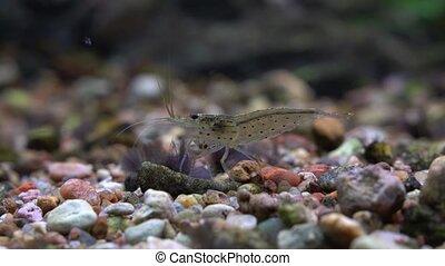 Amano Shrimp behind the glass of the aquarium. - Amano...