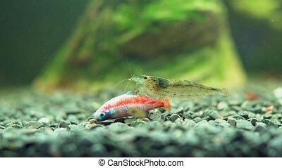 Amano shrimp is eating dead neon fish. - Amano shrimp is ...