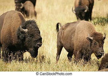 amantes, bisonte, pelea