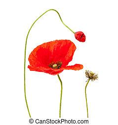 amapola, brillante, flor, aislado, rojo