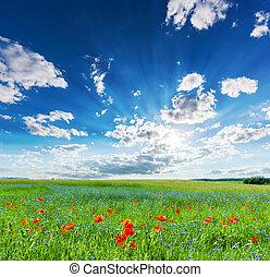 amapola, campo, verano, campo, paisaje, con, azul, soleado, cielo