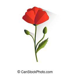 amapola, flor, aislado, rojo
