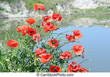 amapola, flor, escena, primavera