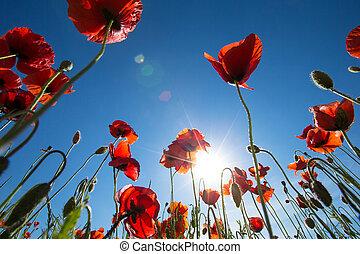 amapola, flor
