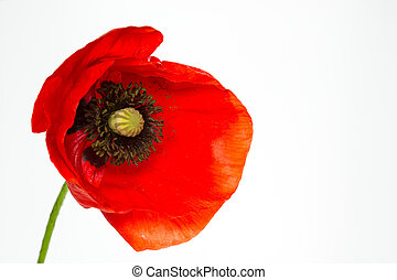 amapola, florecer, rhoeas), (papaver