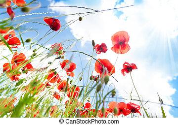 amapola, flores, ángulo, de par en par