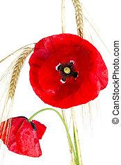 amapola, (papaver, rhoeas), cebada, florecer