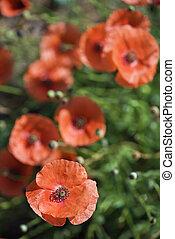 amapola roja, flowers.