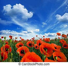 amapolas, florecer