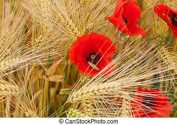 amapolas, rojo, corn-field