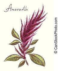 Amaranthus or amaranth. Vector illustration.