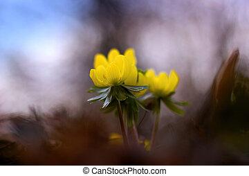 amarela, aconite