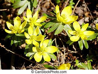 amarela, florescer, flores, primavera, aconite, cedo, inverno