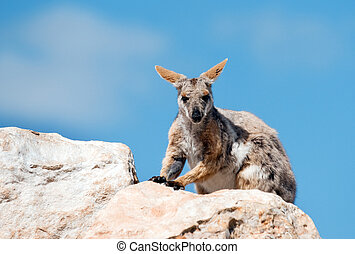 amarela, footed, rocha, wallaby