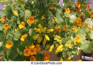 amarela, laranja, jardim