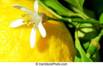 amarela, limão, e, flor, ligado, árvore.