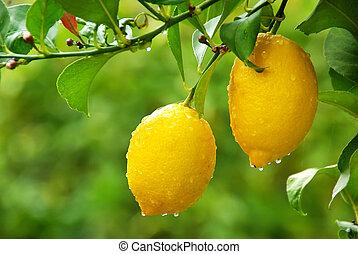 amarela, limões, pendurar, árvore
