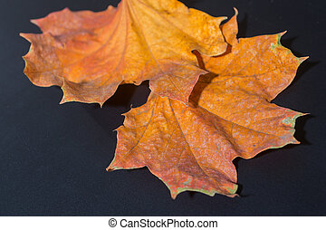 amarela, maple outono sai
