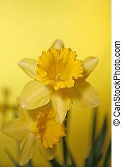 amarela, narciso, com, extremo, profundidade campo