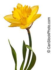 amarela, narciso, isolado
