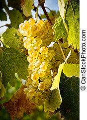 amarela, uva