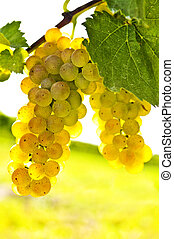 amarela, uvas