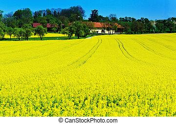 amarela, violação, campo, em, primavera