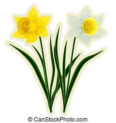amarelo branco, narcisos silvestres