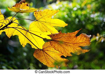 amarelo sai, em, outono