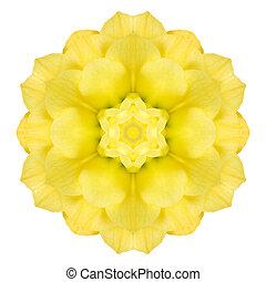amarillo, concéntrico, rosa, flor, aislado, en, white.,...