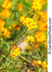amarillo, cosmos, flores