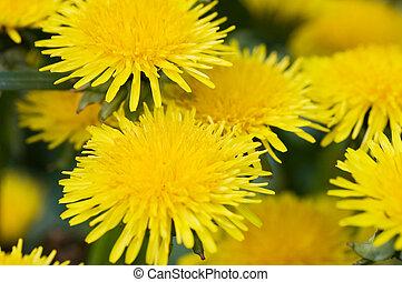 amarillo, diente de león, en, el, pasto o césped, pradera...