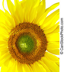 amarillo, girasol