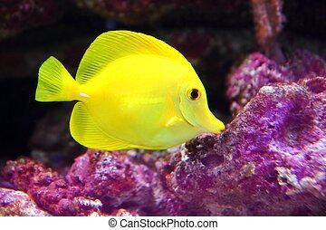 amarillo, hawaiano, espiga, sailfin, surgeonfish