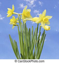 amarillo, narciso, flores