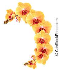 amarillo, orquídea, frontera