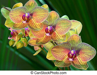 amarillo, orquídeas