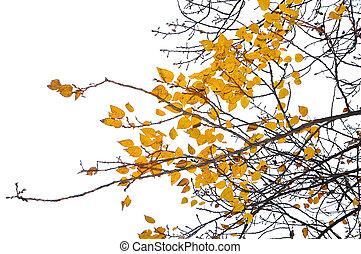 amarillo, otoño sale, y, rama, blanco, plano de fondo