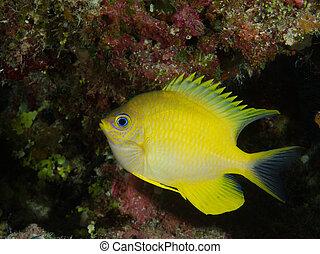 amarillo, pez