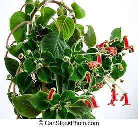 amarillo rojo, kohleria, flores, planta verde, cicatrizarse